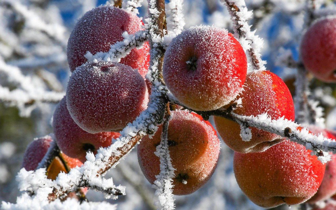 Des pommes en hiver
